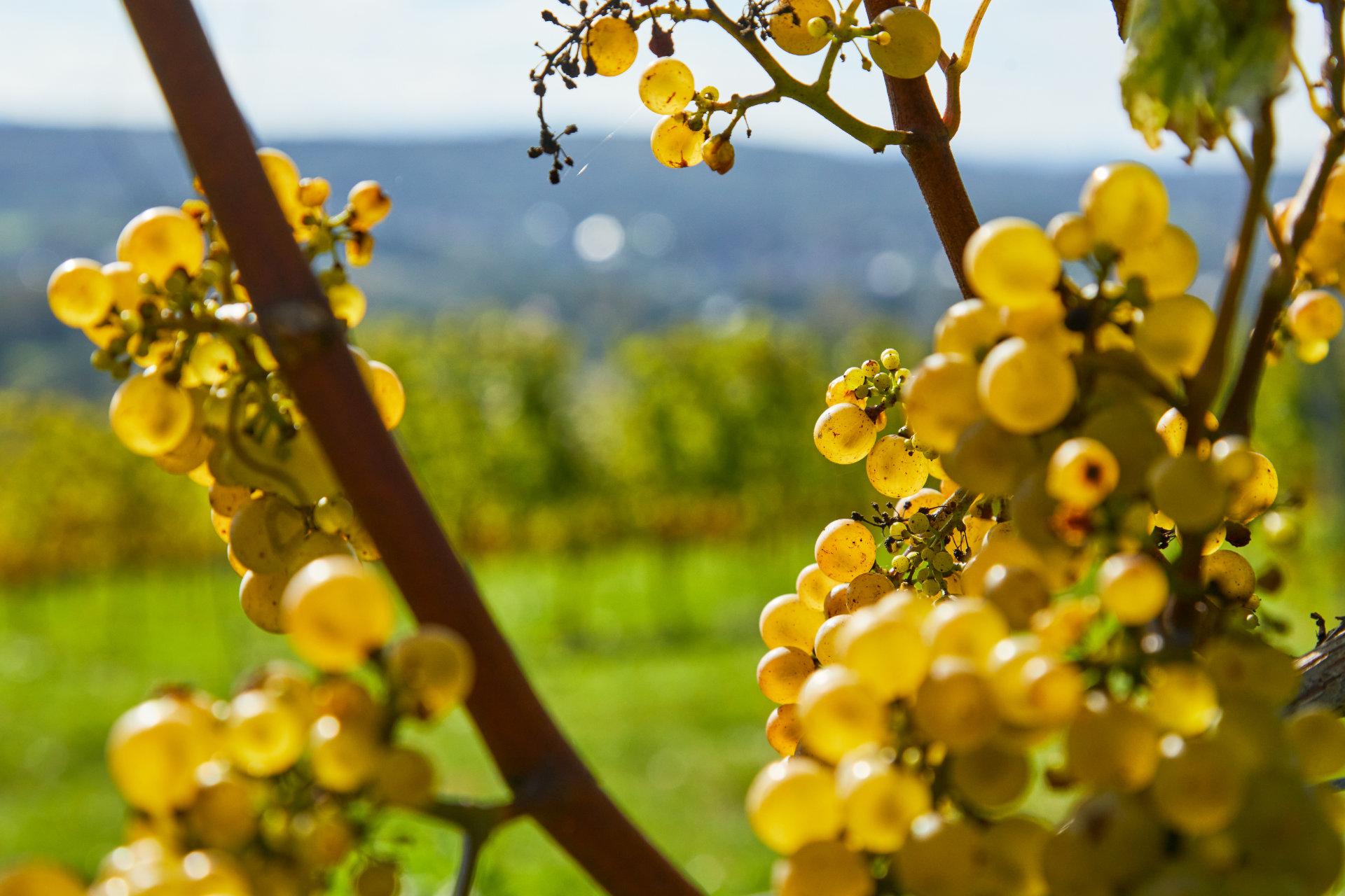 Fotografia białych owoców winorośli z Winnicy Wieliczka