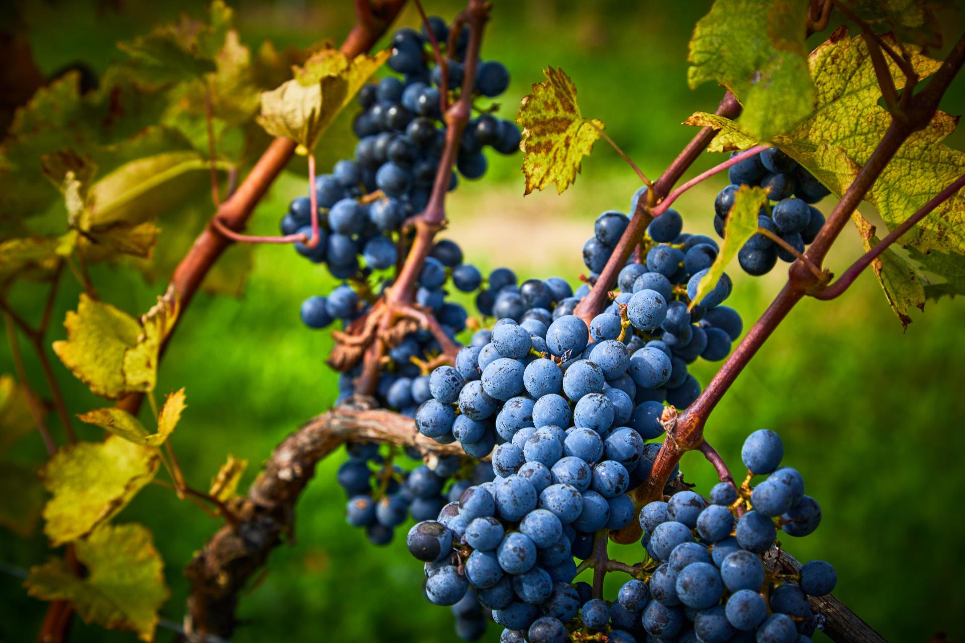 Fotografia ciemnych owoców winorośli z Winnicy Wieliczka
