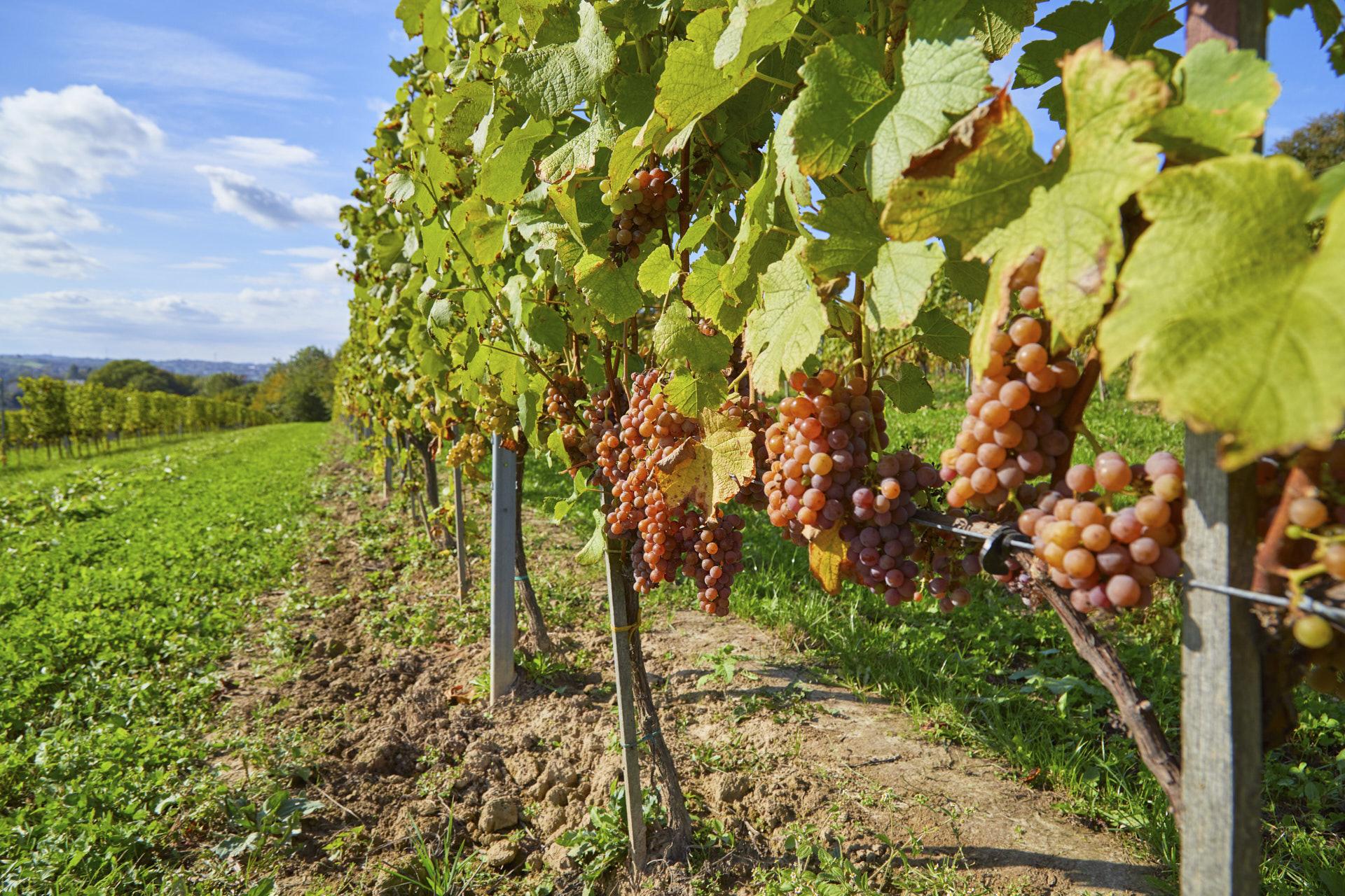 Fotografia różowych owoców winorośli z Winnicy Wieliczka