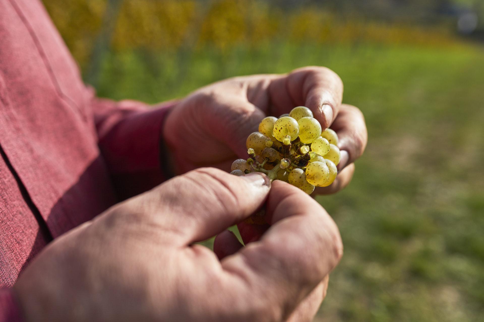 Fotografia właściciela Winnicy Wieliczka próbującego winogron
